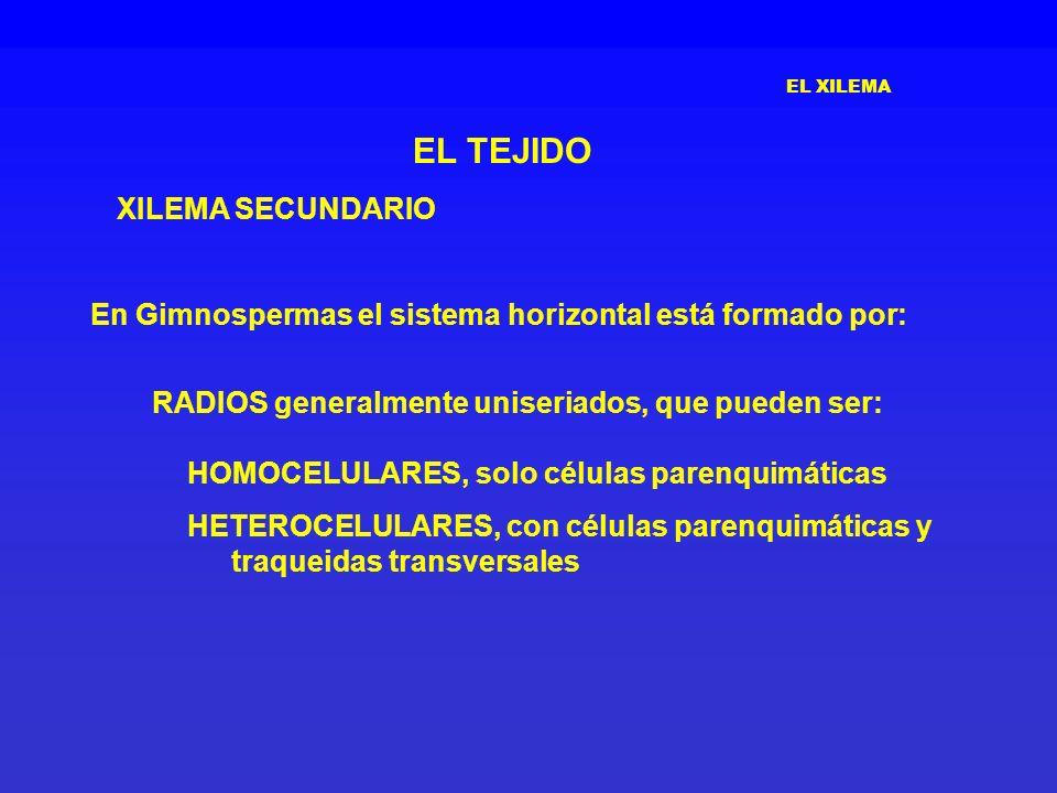 EL XILEMA EL TEJIDO XILEMA SECUNDARIO En Gimnospermas el sistema horizontal está formado por: RADIOS generalmente uniseriados, que pueden ser: HOMOCEL