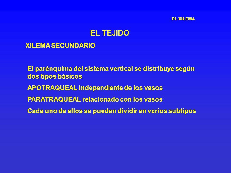 EL XILEMA EL TEJIDO XILEMA SECUNDARIO El parénquima del sistema vertical se distribuye según dos tipos básicos APOTRAQUEAL independiente de los vasos
