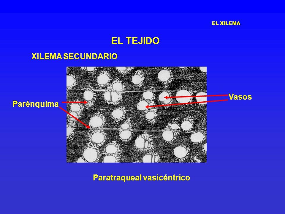 EL XILEMA EL TEJIDO XILEMA SECUNDARIO Paratraqueal vasicéntrico Parénquima Vasos