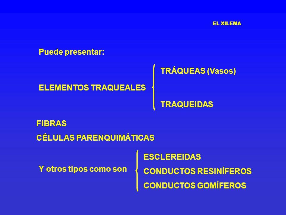 EL XILEMA TRÁQUEAS (Vasos) TRAQUEIDAS FIBRAS CÉLULAS PARENQUIMÁTICAS Y otros tipos como son ESCLEREIDAS CONDUCTOS RESINÍFEROS CONDUCTOS GOMÍFEROS Pued