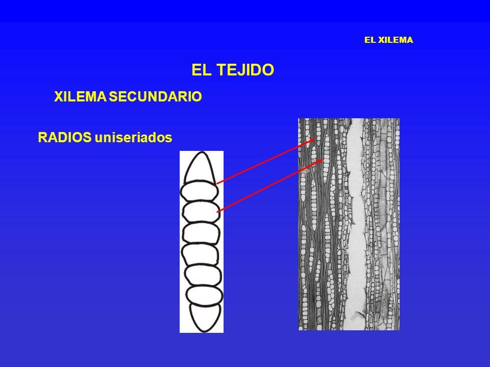EL XILEMA EL TEJIDO XILEMA SECUNDARIO RADIOS uniseriados