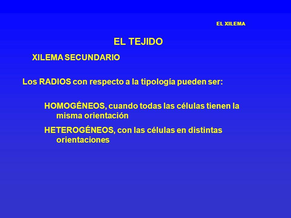 EL XILEMA EL TEJIDO XILEMA SECUNDARIO Los RADIOS con respecto a la tipología pueden ser: HOMOGÉNEOS, cuando todas las células tienen la misma orientac