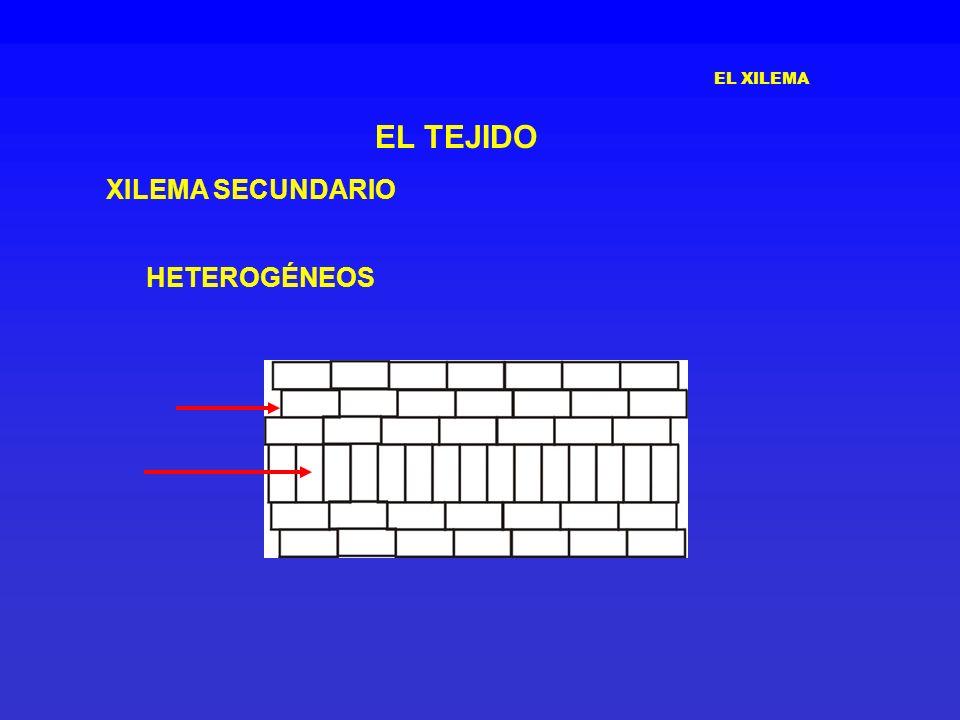 EL XILEMA EL TEJIDO XILEMA SECUNDARIO HETEROGÉNEOS