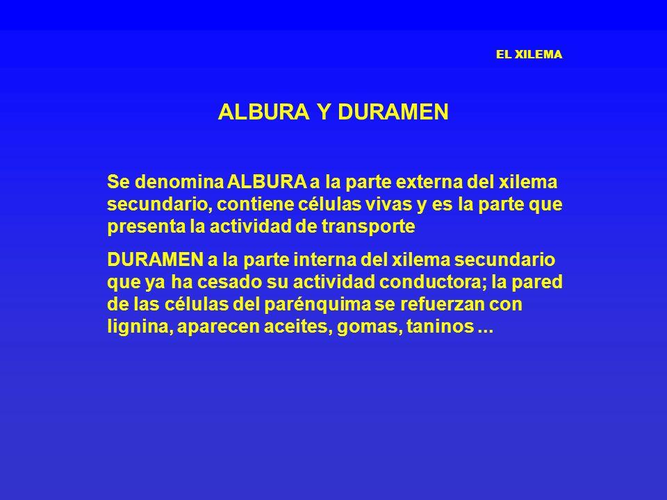 EL XILEMA ALBURA Y DURAMEN Se denomina ALBURA a la parte externa del xilema secundario, contiene células vivas y es la parte que presenta la actividad
