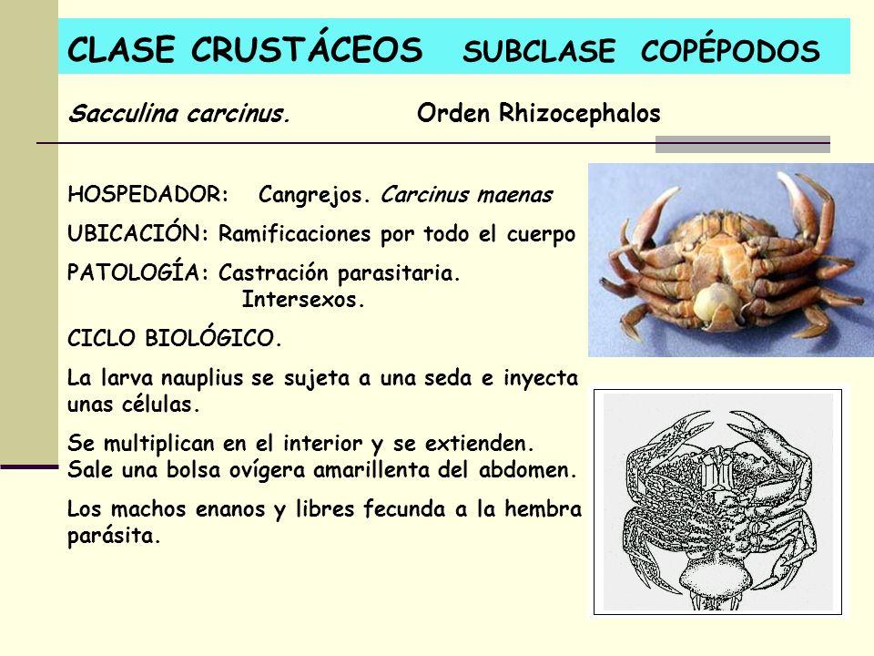 CLASE CRUSTÁCEOS SUBCLASE COPÉPODOS HOSPEDADOR: Cangrejos. Carcinus maenas UBICACIÓN: Ramificaciones por todo el cuerpo PATOLOGÍA: Castración parasita