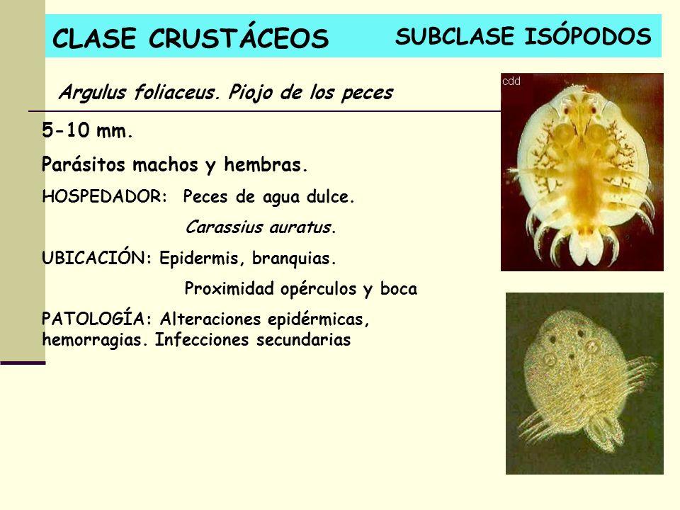 CLASE CRUSTÁCEOS 5-10 mm. Parásitos machos y hembras. HOSPEDADOR: Peces de agua dulce. Carassius auratus. UBICACIÓN: Epidermis, branquias. Proximidad