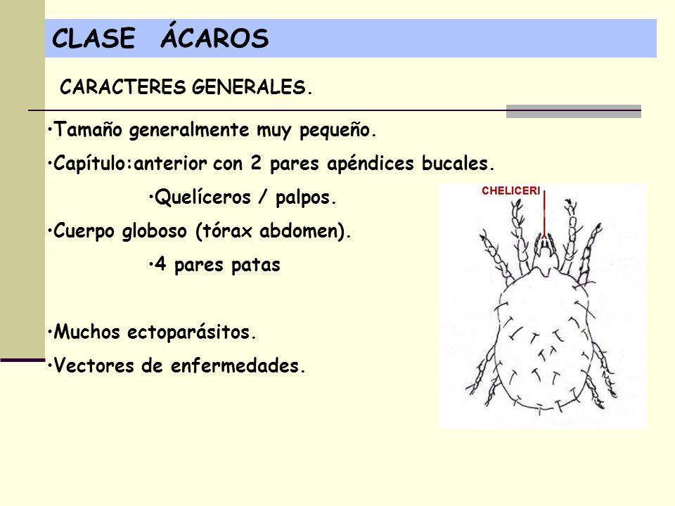 CLASE ÁCAROS Tamaño generalmente muy pequeño. Capítulo:anterior con 2 pares apéndices bucales. Quelíceros / palpos. Cuerpo globoso (tórax abdomen). 4