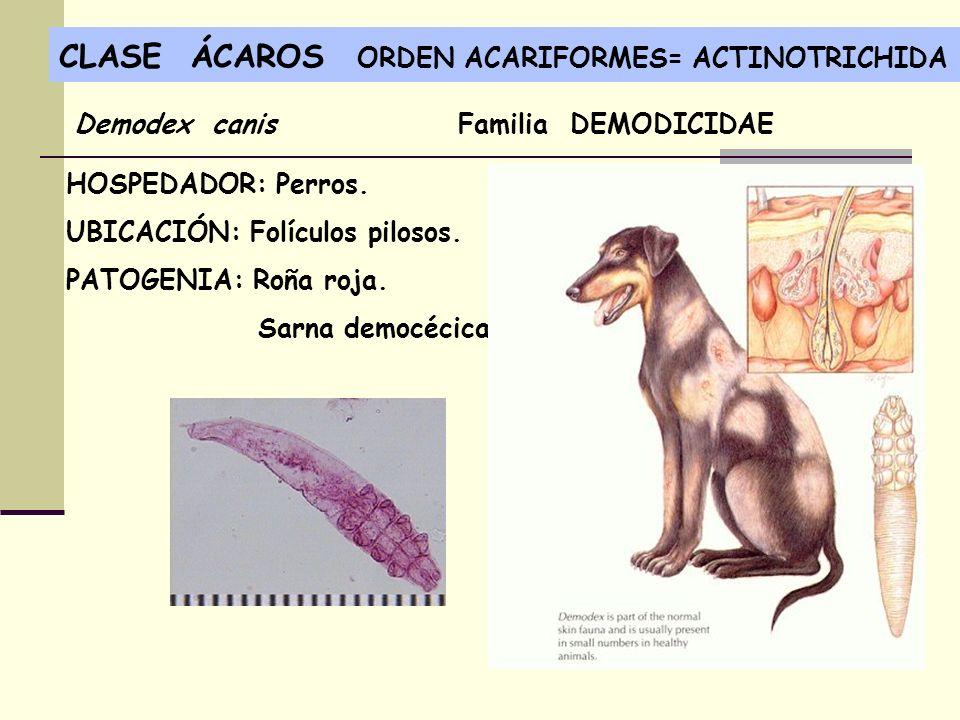 CLASE ÁCAROS ORDEN ACARIFORMES= ACTINOTRICHIDA HOSPEDADOR: Perros. UBICACIÓN: Folículos pilosos. PATOGENIA: Roña roja. Sarna democécica. Demodex canis