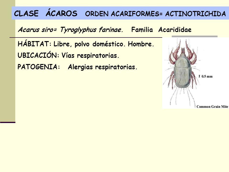 CLASE ÁCAROS ORDEN ACARIFORMES= ACTINOTRICHIDA HÁBITAT: Libre, polvo doméstico. Hombre. UBICACIÓN: Vías respiratorias. PATOGENIA: Alergias respiratori