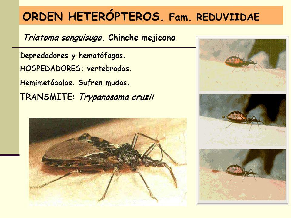 ORDEN HETERÓPTEROS. Fam. REDUVIIDAE Depredadores y hematófagos. HOSPEDADORES: vertebrados. Hemimetábolos. Sufren mudas. TRANSMITE: Trypanosoma cruzii