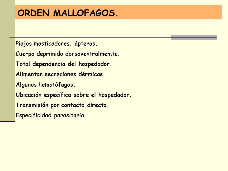 ORDEN MALLOFAGOS. Piojos masticadores, ápteros. Cuerpo deprimido dorsoventralmemte. Total dependencia del hospedador. Alimentan secreciones dérmicas.