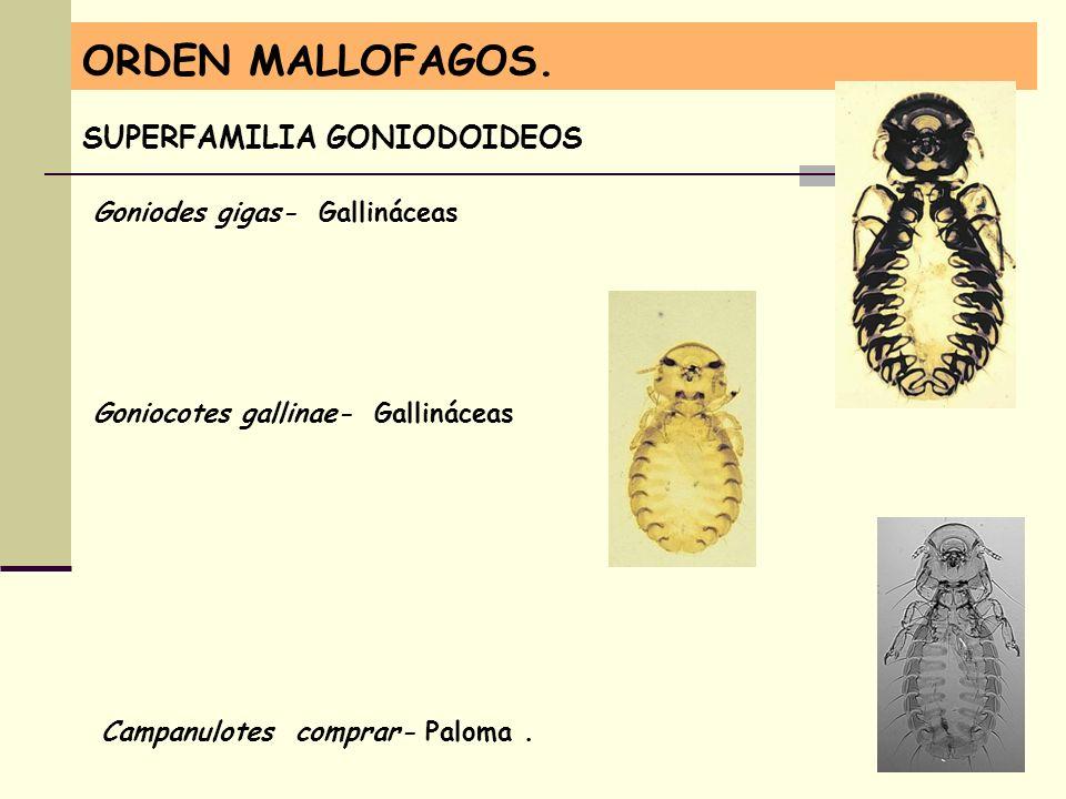 ORDEN MALLOFAGOS. SUPERFAMILIA GONIODOIDEOS Goniodes gigas- Gallináceas Campanulotes comprar- Paloma. Goniocotes gallinae- Gallináceas