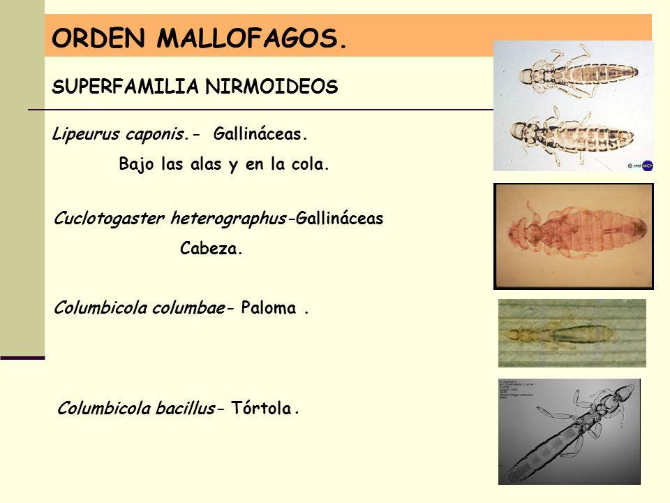 ORDEN MALLOFAGOS. SUPERFAMILIA NIRMOIDEOS Lipeurus caponis.- Gallináceas. Bajo las alas y en la cola. Columbicola columbae- Paloma. Cuclotogaster hete