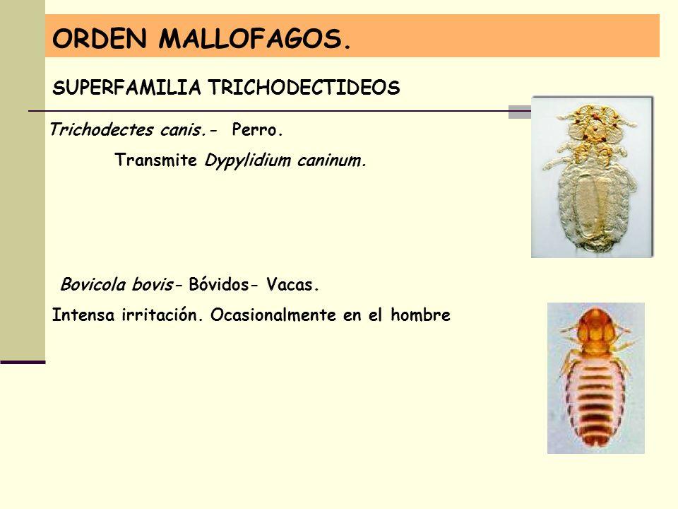 ORDEN MALLOFAGOS. SUPERFAMILIA TRICHODECTIDEOS Trichodectes canis.- Perro. Transmite Dypylidium caninum. Bovicola bovis- Bóvidos- Vacas. Intensa irrit