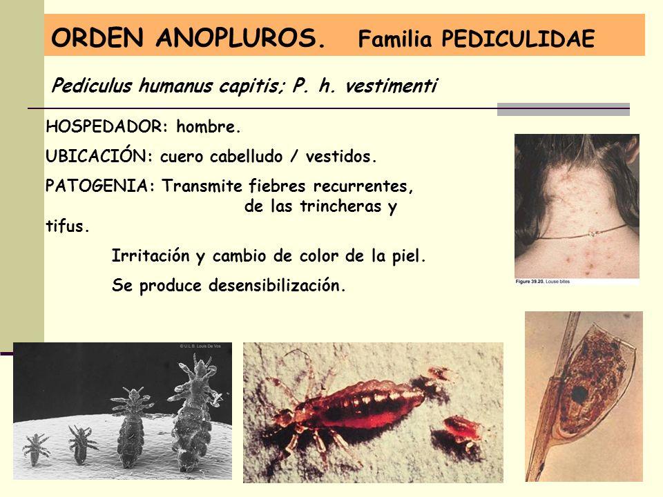 ORDEN ANOPLUROS. Familia PEDICULIDAE Pediculus humanus capitis; P. h. vestimenti HOSPEDADOR: hombre. UBICACIÓN: cuero cabelludo / vestidos. PATOGENIA: