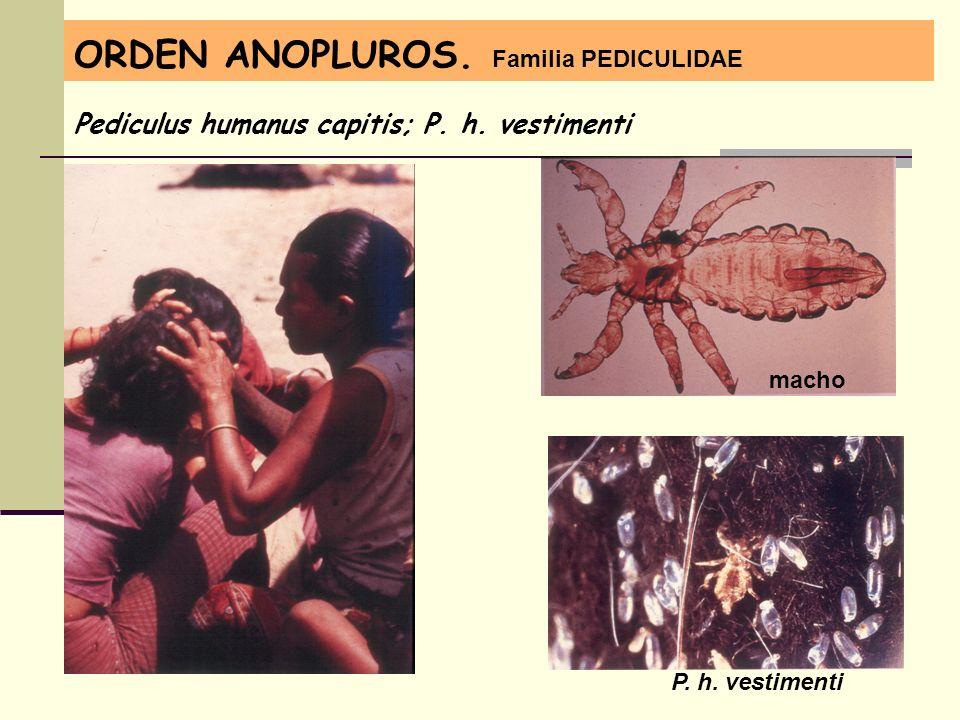 ORDEN ANOPLUROS. Familia PEDICULIDAE Pediculus humanus capitis; P. h. vestimenti macho P. h. vestimenti