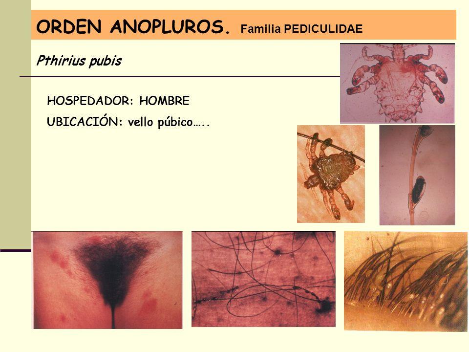 ORDEN ANOPLUROS. Familia PEDICULIDAE Pthirius pubis HOSPEDADOR: HOMBRE UBICACIÓN: vello púbico…..