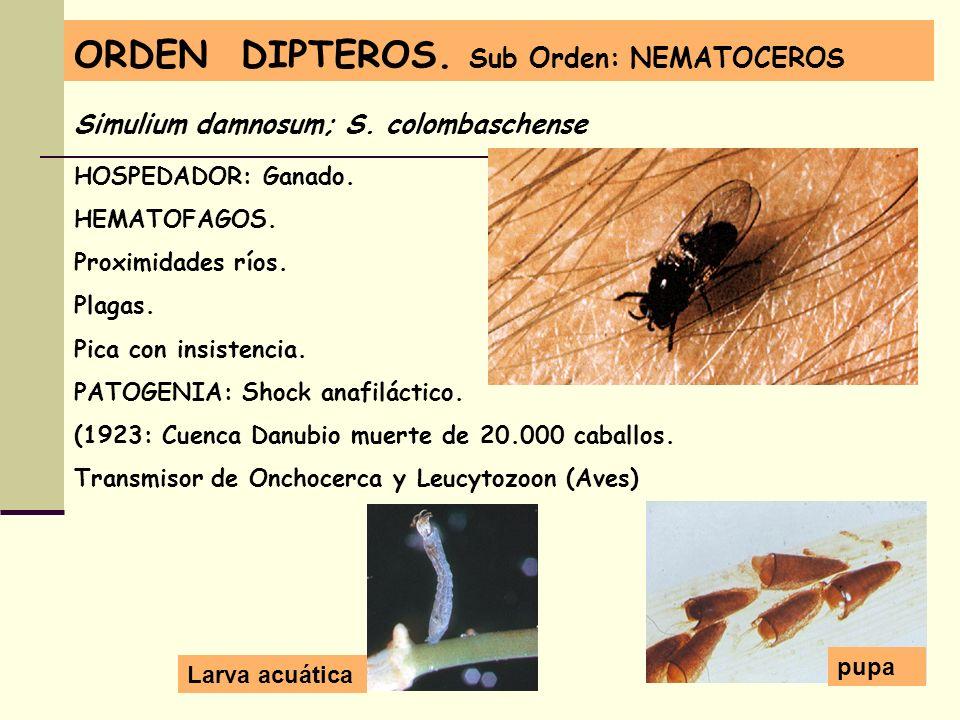 ORDEN DIPTEROS. Sub Orden: NEMATOCEROS Simulium damnosum; S. colombaschense HOSPEDADOR: Ganado. HEMATOFAGOS. Proximidades ríos. Plagas. Pica con insis