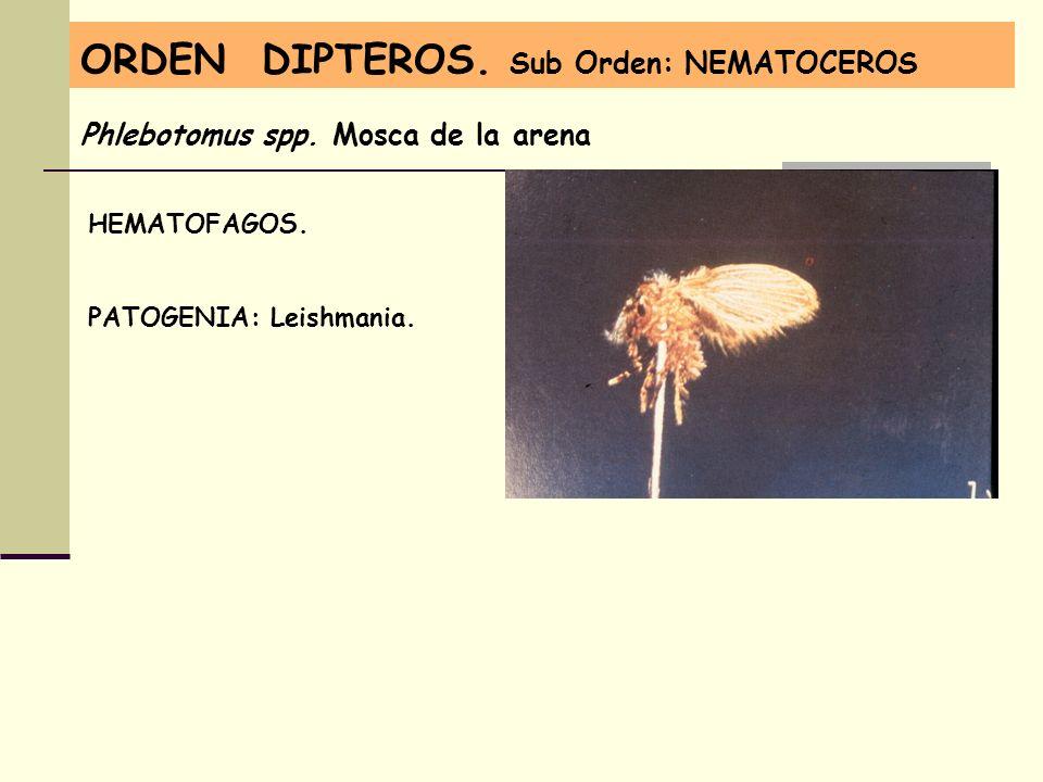 ORDEN DIPTEROS. Sub Orden: NEMATOCEROS Phlebotomus spp. Mosca de la arena HEMATOFAGOS. PATOGENIA: Leishmania.