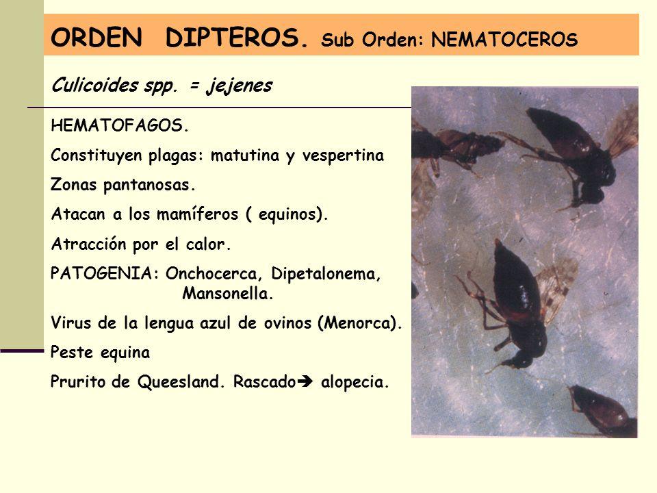 ORDEN DIPTEROS. Sub Orden: NEMATOCEROS Culicoides spp. = jejenes HEMATOFAGOS. Constituyen plagas: matutina y vespertina Zonas pantanosas. Atacan a los