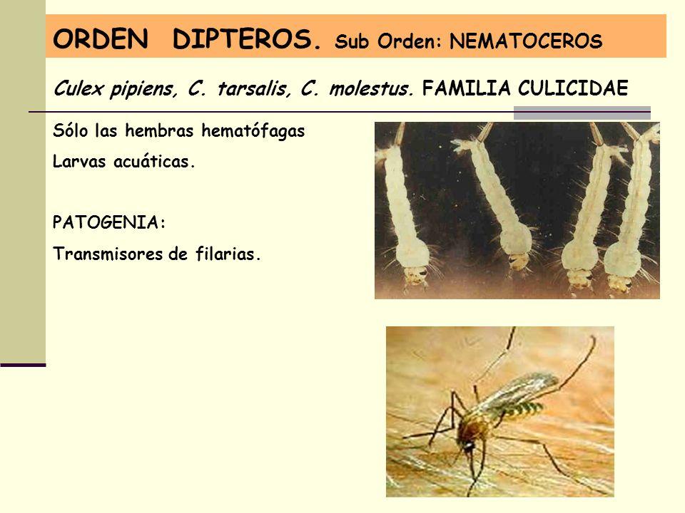 ORDEN DIPTEROS. Sub Orden: NEMATOCEROS Culex pipiens, C. tarsalis, C. molestus. FAMILIA CULICIDAE Sólo las hembras hematófagas Larvas acuáticas. PATOG