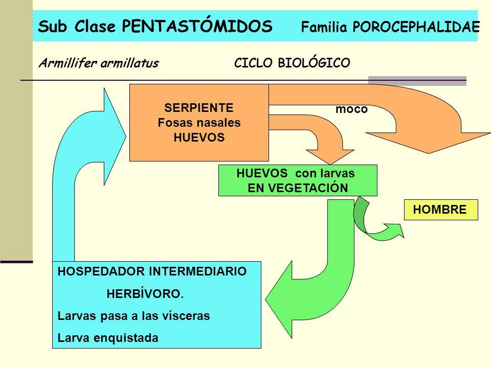 Sub Clase PENTASTÓMIDOS Familia POROCEPHALIDAE Armillifer armillatusCICLO BIOLÓGICO SERPIENTE Fosas nasales HUEVOS HUEVOS con larvas EN VEGETACIÓN HOS