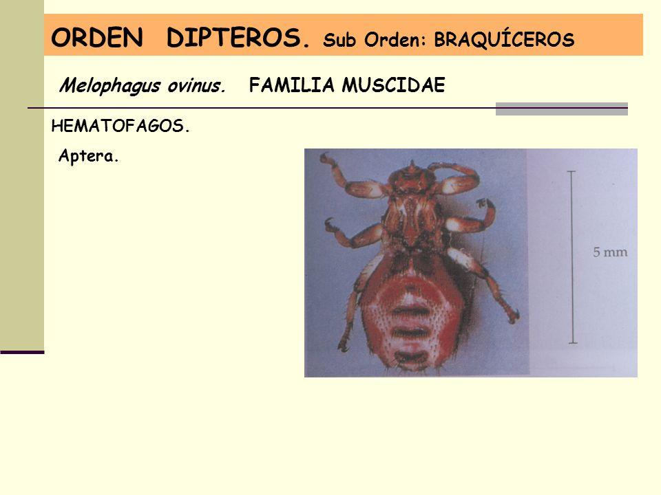 ORDEN DIPTEROS. Sub Orden: BRAQUÍCEROS Melophagus ovinus. FAMILIA MUSCIDAE HEMATOFAGOS. Aptera.
