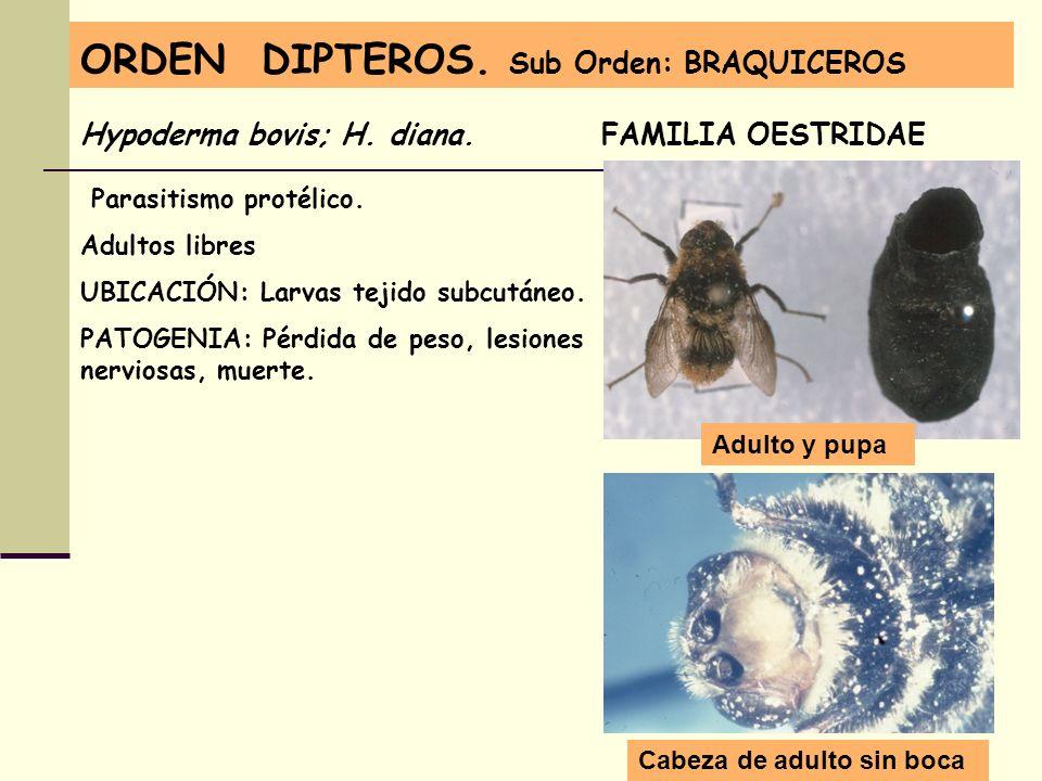 ORDEN DIPTEROS. Sub Orden: BRAQUICEROS Hypoderma bovis; H. diana. FAMILIA OESTRIDAE Parasitismo protélico. Adultos libres UBICACIÓN: Larvas tejido sub