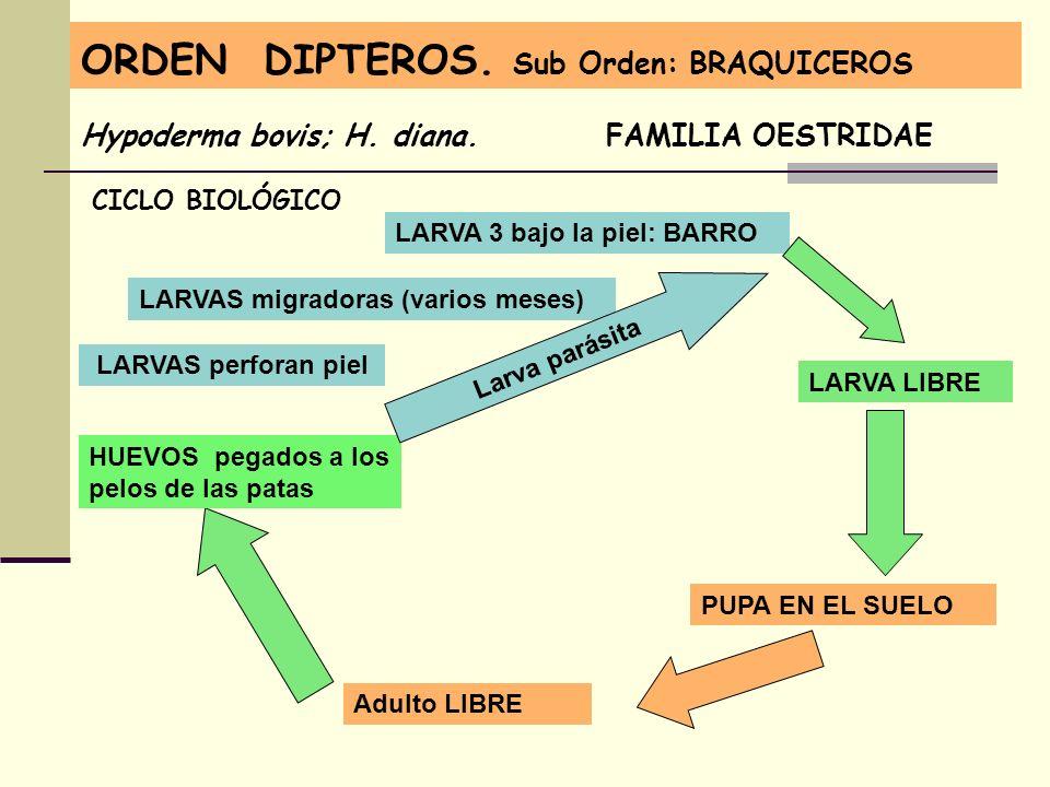 ORDEN DIPTEROS. Sub Orden: BRAQUICEROS Hypoderma bovis; H. diana. FAMILIA OESTRIDAE CICLO BIOLÓGICO Adulto LIBRE HUEVOS pegados a los pelos de las pat