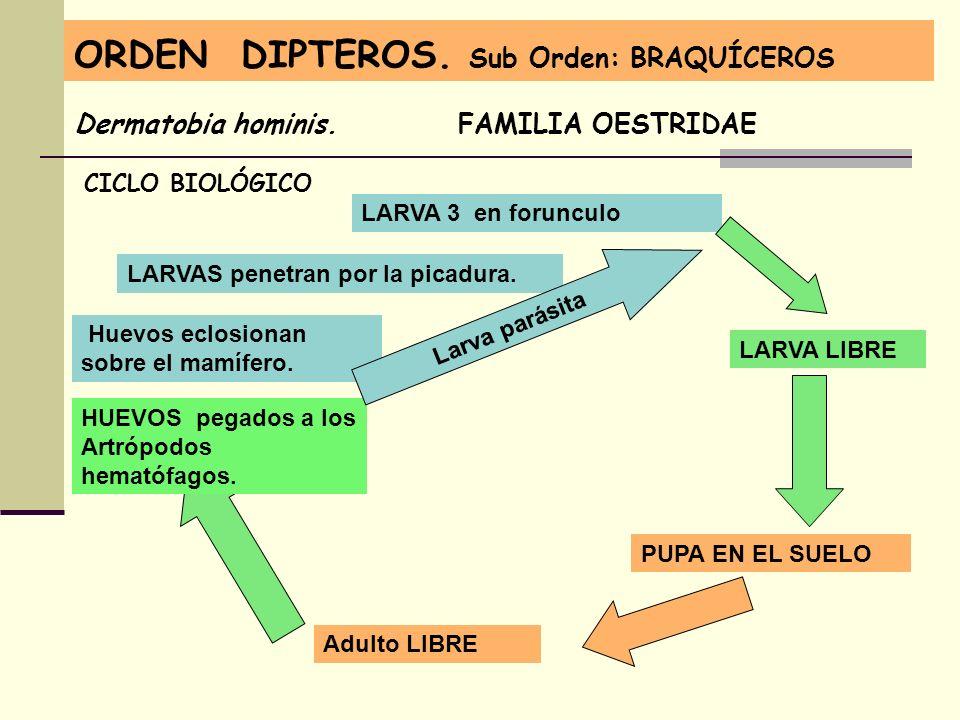 ORDEN DIPTEROS. Sub Orden: BRAQUÍCEROS Dermatobia hominis. FAMILIA OESTRIDAE CICLO BIOLÓGICO Adulto LIBRE HUEVOS pegados a los Artrópodos hematófagos.
