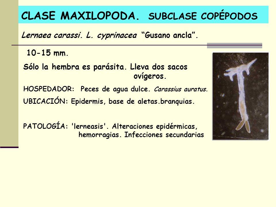CLASE MAXILOPODA. SUBCLASE COPÉPODOS 10-15 mm. Sólo la hembra es parásita. Lleva dos sacos ovígeros. HOSPEDADOR: Peces de agua dulce. Carassius auratu