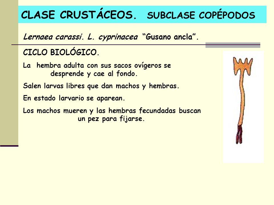 CLASE CRUSTÁCEOS. SUBCLASE COPÉPODOS Lernaea carassi. L. cyprinacea Gusano ancla. CICLO BIOLÓGICO. La hembra adulta con sus sacos ovígeros se desprend