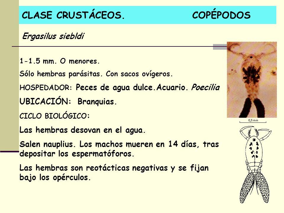 CLASE CRUSTÁCEOS. COPÉPODOS 1-1.5 mm. O menores. Sólo hembras parásitas. Con sacos ovígeros. HOSPEDADOR: Peces de agua dulce.Acuario. Poecilia UBICACI