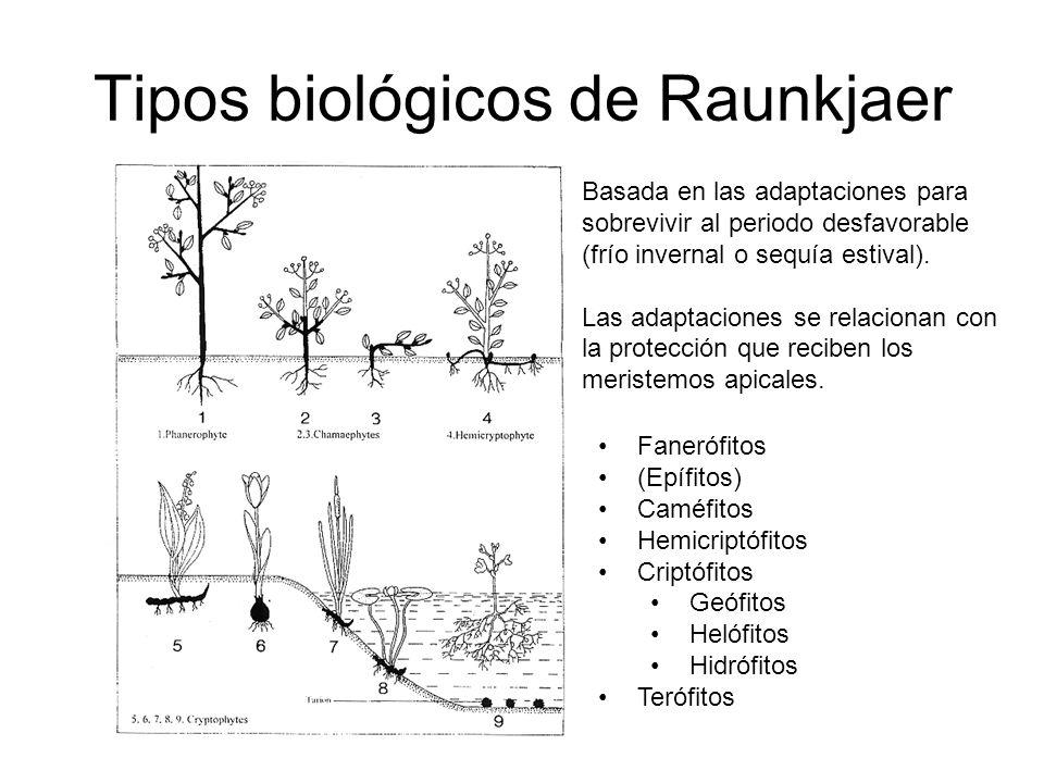 Tipos biológicos de Raunkjaer Fanerófitos (Epífitos) Caméfitos Hemicriptófitos Criptófitos Geófitos Helófitos Hidrófitos Terófitos Basada en las adapt