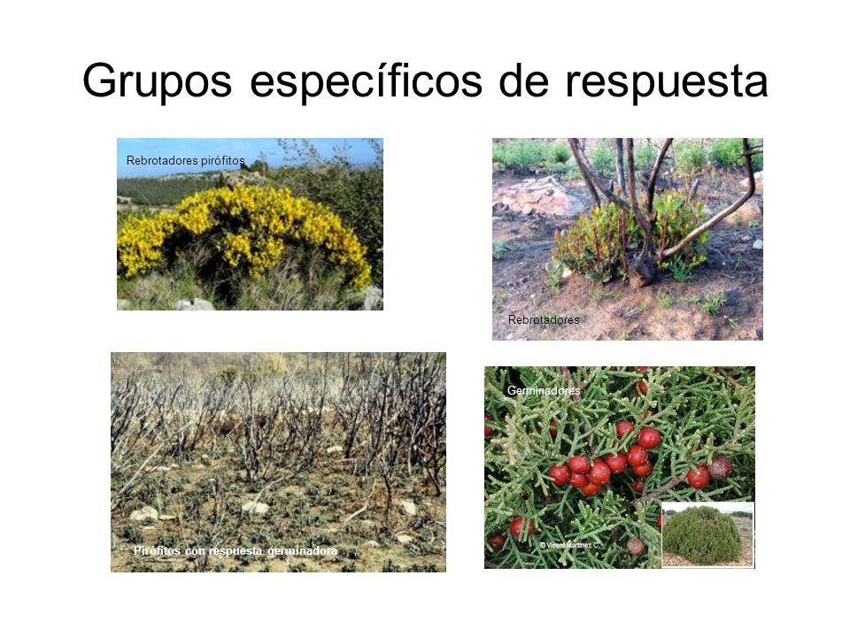 Grupos específicos de respuesta Pirófitos con respuesta germinadora Rebrotadores Rebrotadores pirófitos Germinadores