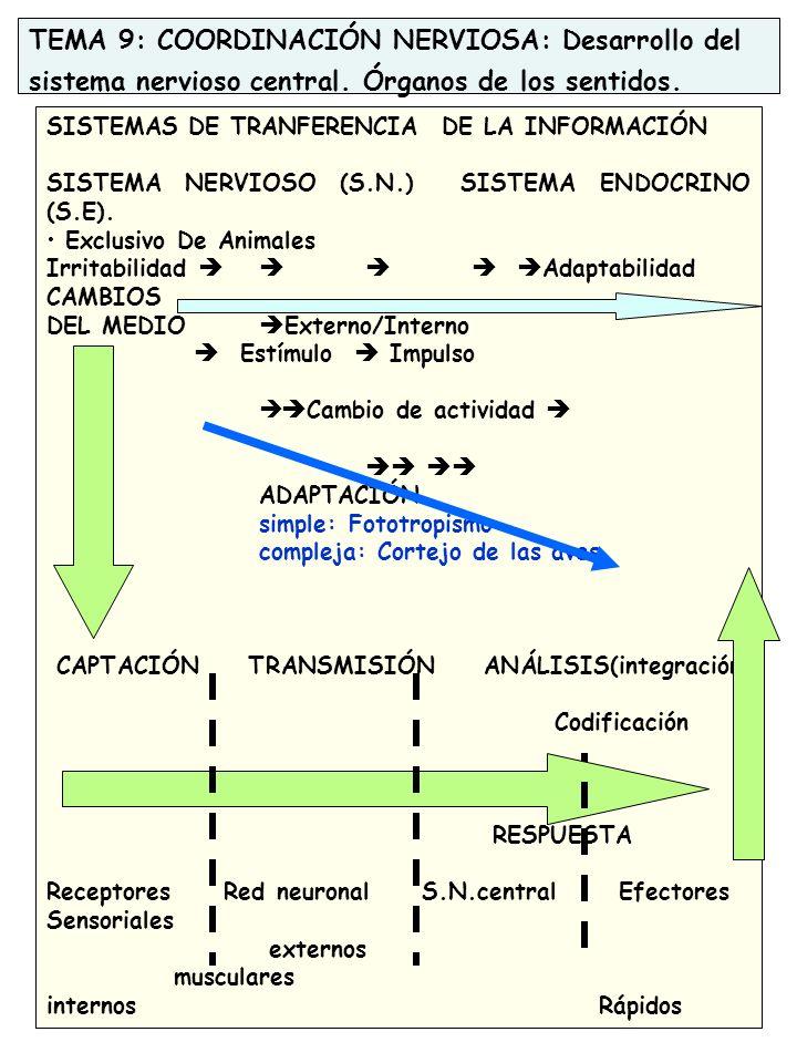 TEMA 9: COORDINACIÓN NERVIOSA: Desarrollo del sistema nervioso central.