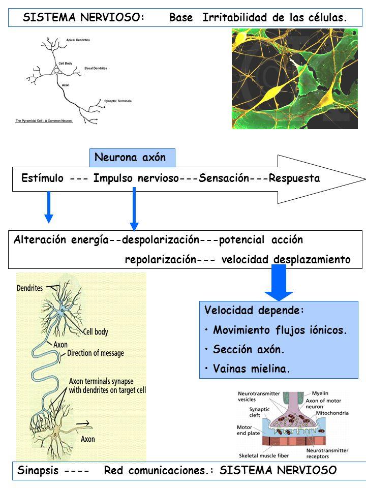 SISTEMA NERVIOSO RECEPTORES EFECTORES Vías aferentes MALLA o PLEXO NERVIOSO Neuronas bipolares y multipolares.