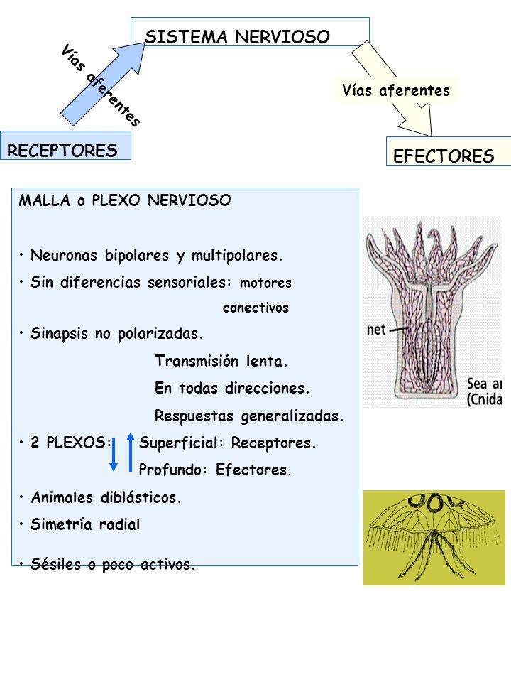 SISTEMA NERVIOSO CENTRAL SENSORIOALES MOTORES Nervios aferentes En Metazoos superiores.