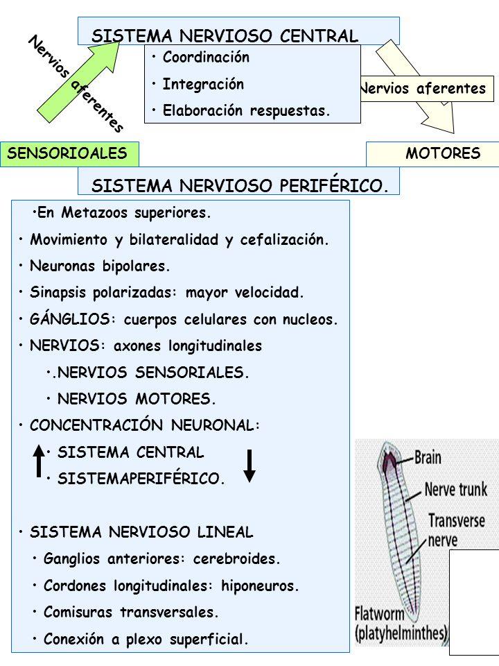 SISTEMA NERVIOSO DE INVERTEBRADOS Ganglios anteriores: Complejización.
