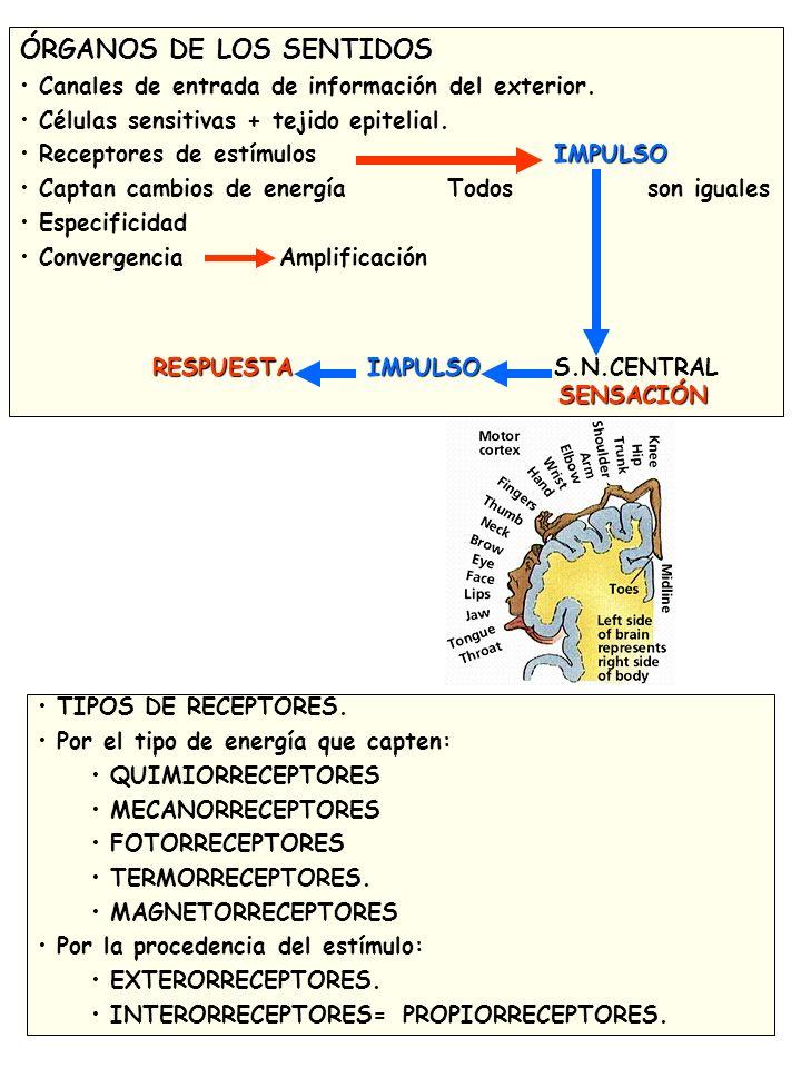 ÓRGANOS DE LOS SENTIDOS Canales de entrada de información del exterior.
