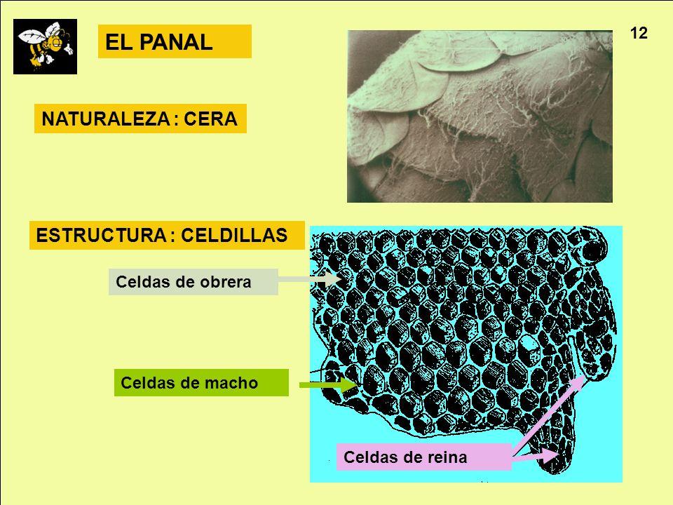 Apicultura 12 EL PANAL Celdas de obrera Celdas de macho Celdas de reina NATURALEZA : CERA ESTRUCTURA : CELDILLAS