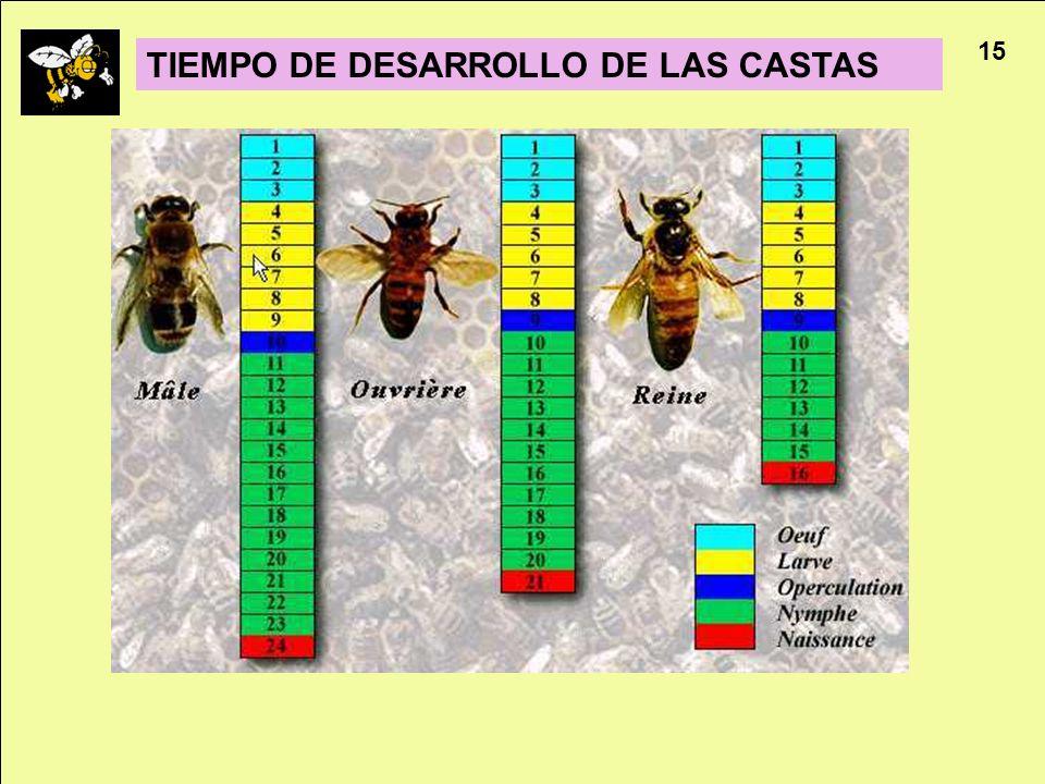 Apicultura 15 TIEMPO DE DESARROLLO DE LAS CASTAS