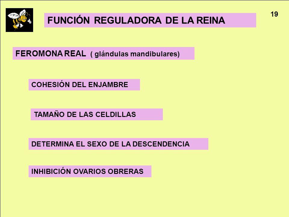 Apicultura 19 FUNCIÓN REGULADORA DE LA REINA COHESIÓN DEL ENJAMBRE FEROMONA REAL ( glándulas mandibulares) INHIBICIÓN OVARIOS OBRERAS DETERMINA EL SEX