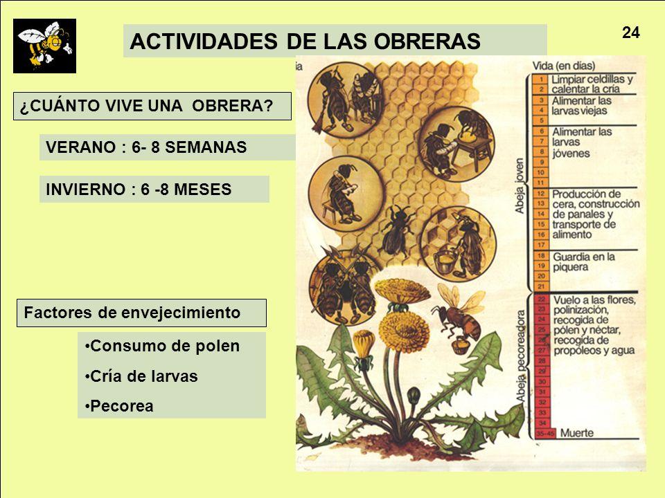 Apicultura 24 ACTIVIDADES DE LAS OBRERAS VERANO : 6- 8 SEMANAS INVIERNO : 6 -8 MESES ¿CUÁNTO VIVE UNA OBRERA? Consumo de polen Cría de larvas Pecorea