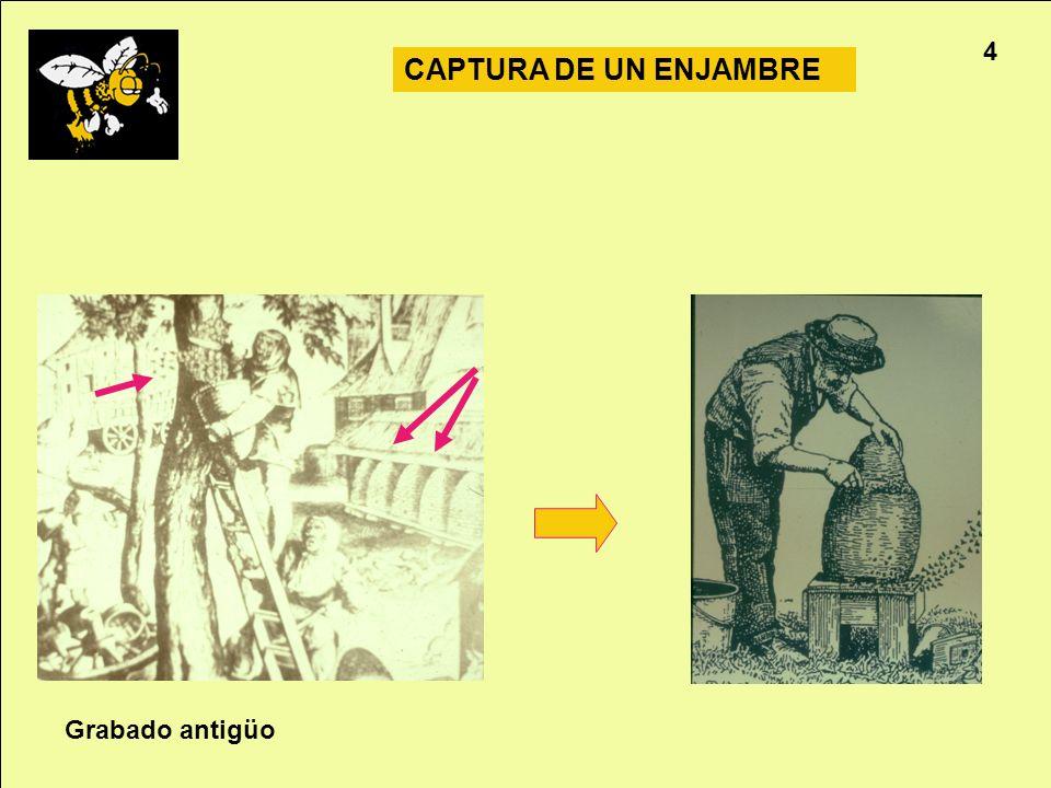Apicultura 4 CAPTURA DE UN ENJAMBRE Grabado antigüo