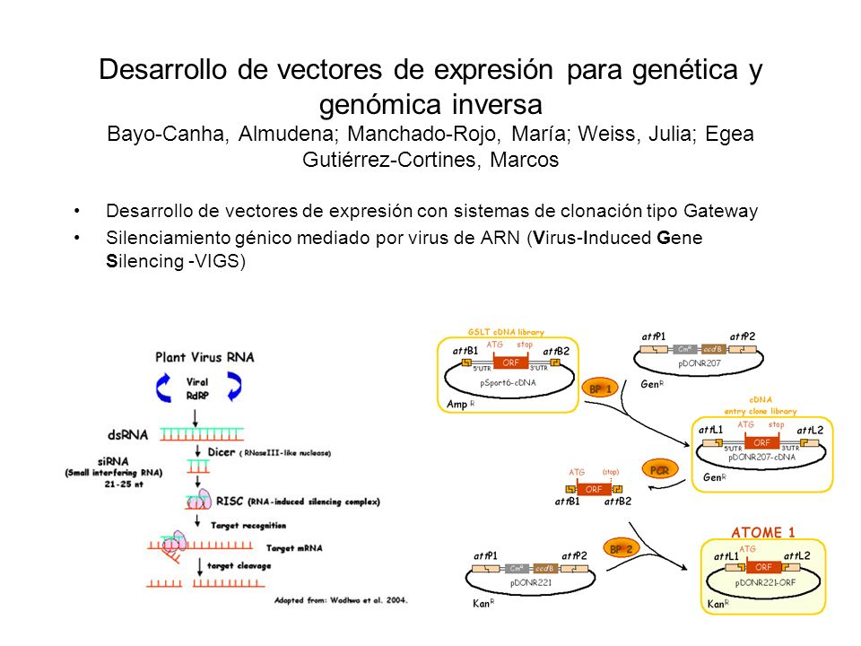 Desarrollo de vectores de expresión para genética y genómica inversa Bayo-Canha, Almudena; Manchado-Rojo, María; Weiss, Julia; Egea Gutiérrez-Cortines