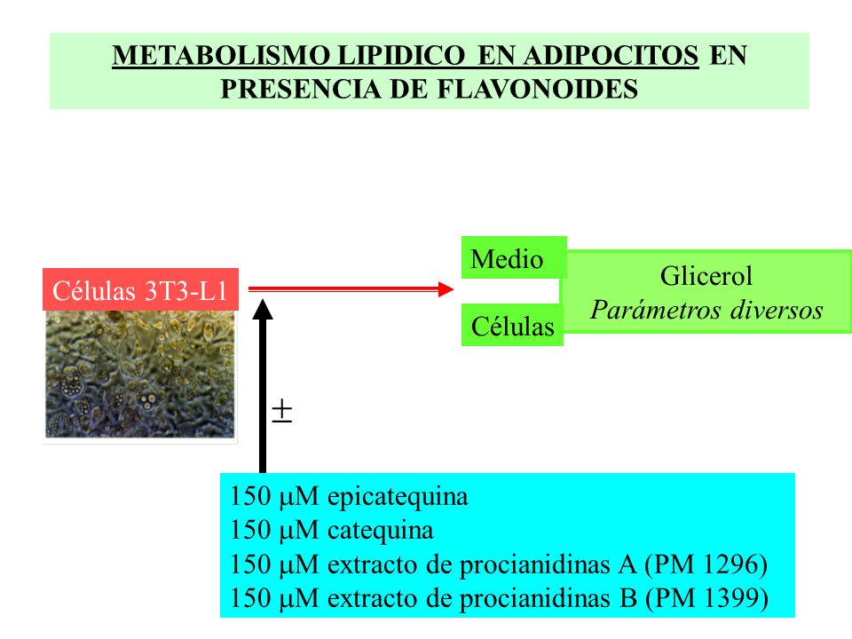 150 M epicatequina 150 M catequina M extracto de procianidinas A (PM 1296) M extracto de procianidinas B (PM 1399) METABOLISMO LIPIDICO EN ADIPOCITOS