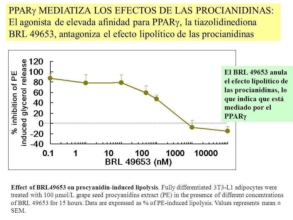 PPAR MEDIATIZA LOS EFECTOS DE LAS PROCIANIDINAS: El agonista de elevada afinidad para PPAR, la tiazolidinediona BRL 49653, antagoniza el efecto lipolí