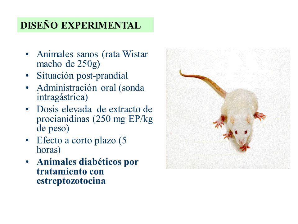 DISEÑO EXPERIMENTAL Animales sanos (rata Wistar macho de 250g) Situación post-prandial Administración oral (sonda intragástrica) Dosis elevada de extr
