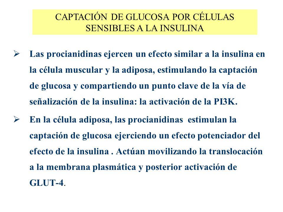 Las procianidinas ejercen un efecto similar a la insulina en la célula muscular y la adiposa, estimulando la captación de glucosa y compartiendo un pu